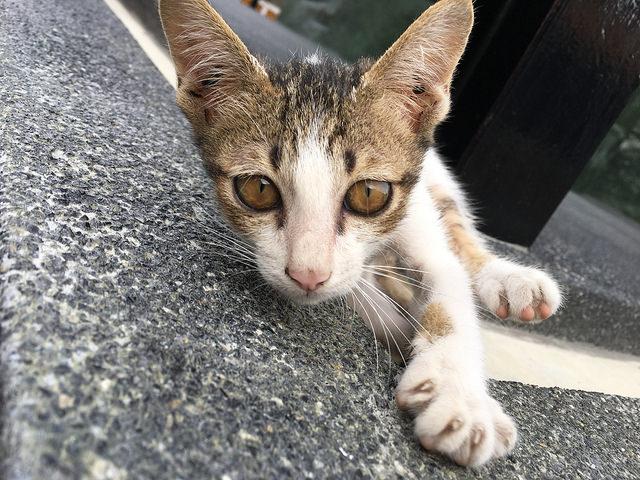 背伸びもカメラ目線の子猫
