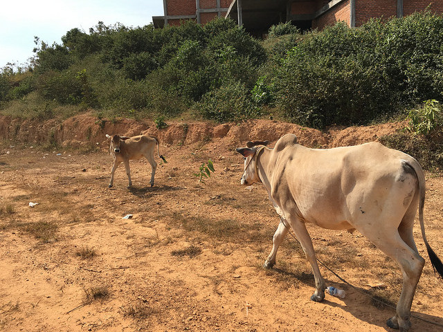 白い牛がカンボジアっぽい